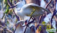 『 射阳河畔鹭鸟魅影 』
